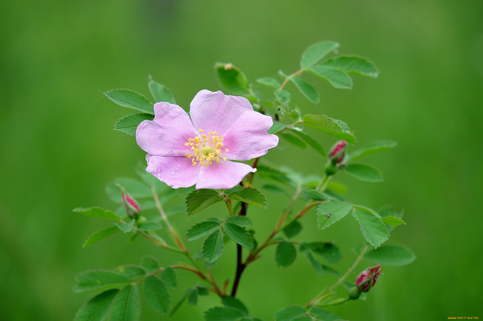 картинки на аву цветы шиповника тут мне стало